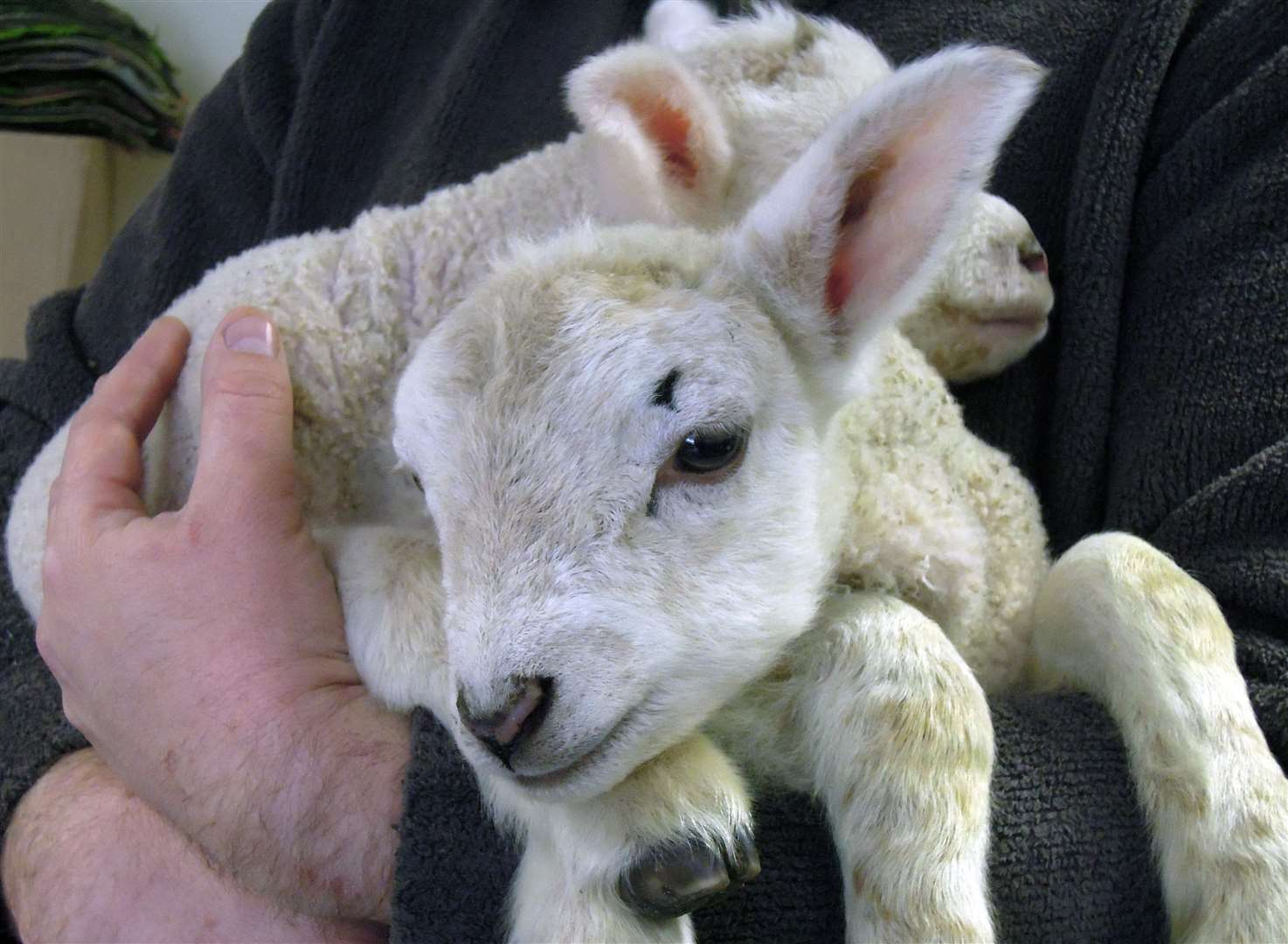 You can see little lambs at Brogdale this Easter weekend