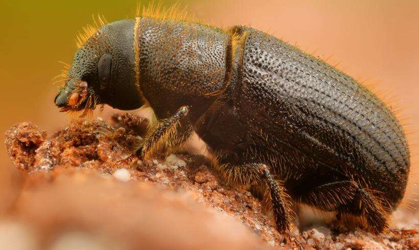 The spruce bark beetle has been found in Ashford (6549436)