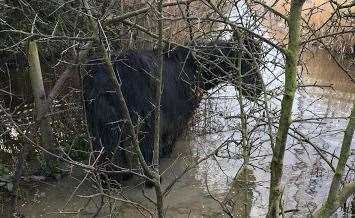 The RSPCA rescued Harris, a black colt, from freezing water in marshland in Gravesend