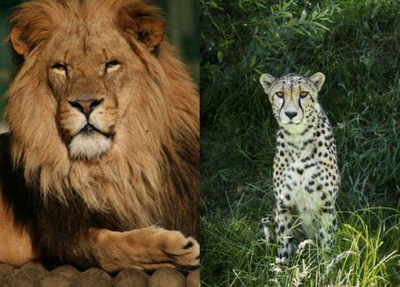 Kafara the lion and Martin the cheetah have both had to be put to sleep. All photos: Big Cat Sanctuary