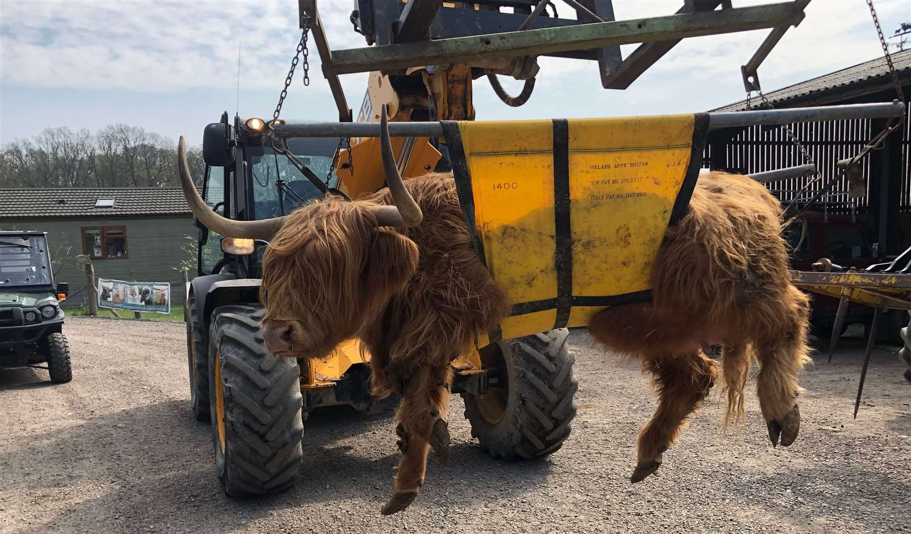 One of Mr Coles' Highland cattle had to be transported five miles to Roundoak farm to retrieve care before she died.