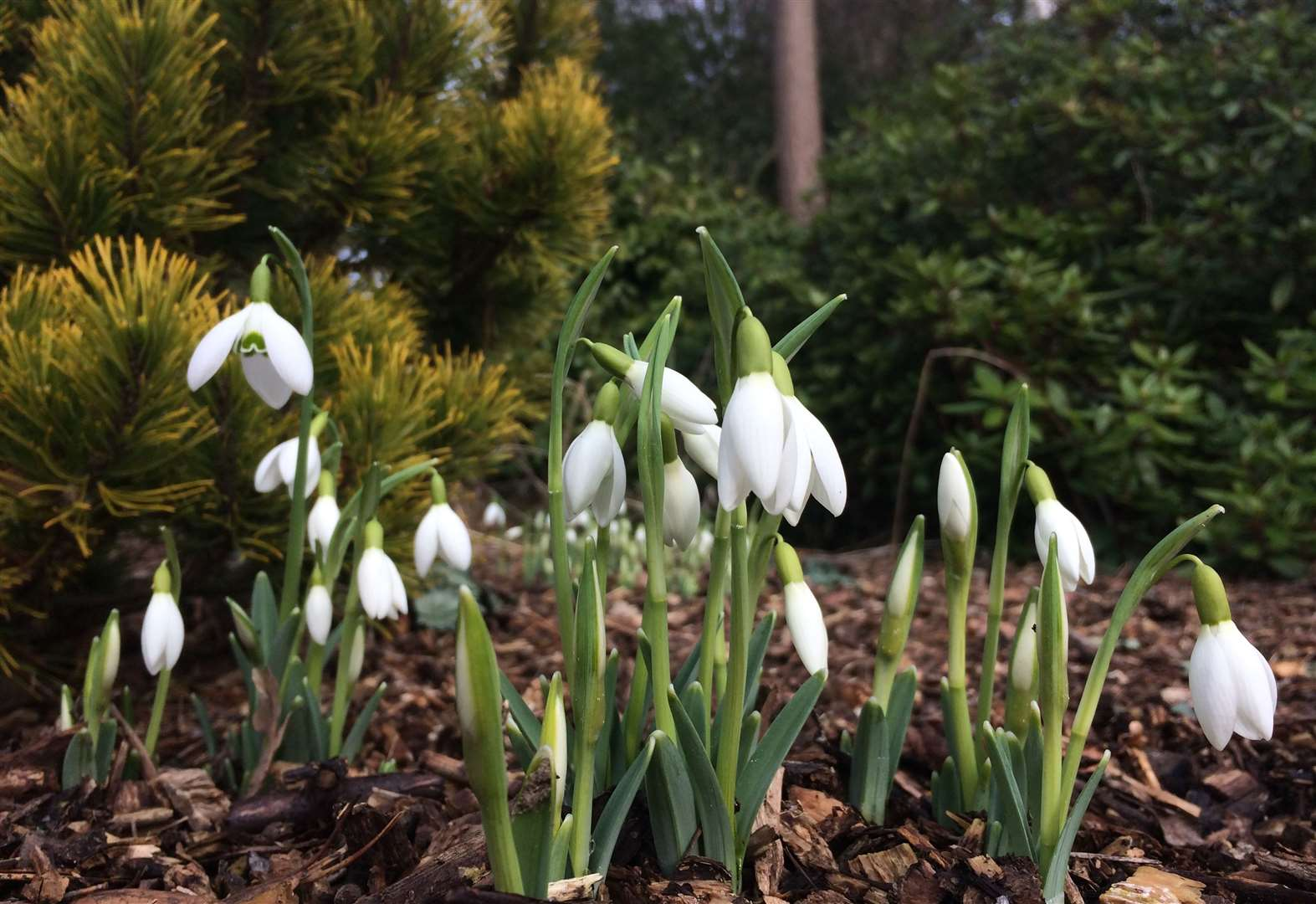 Snowdrops at Great Comp Garden