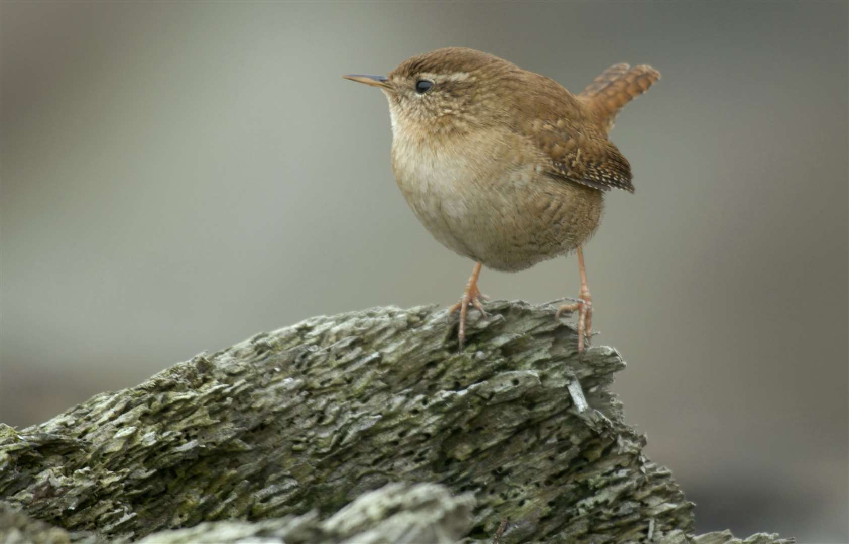 A wren perches on a tree stump Picture: RSPB