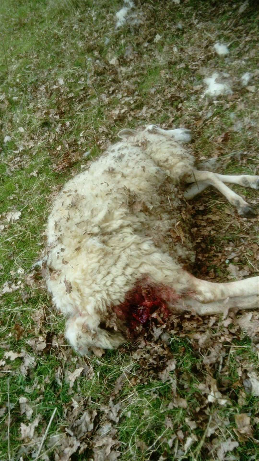 The ewe died from its injuries