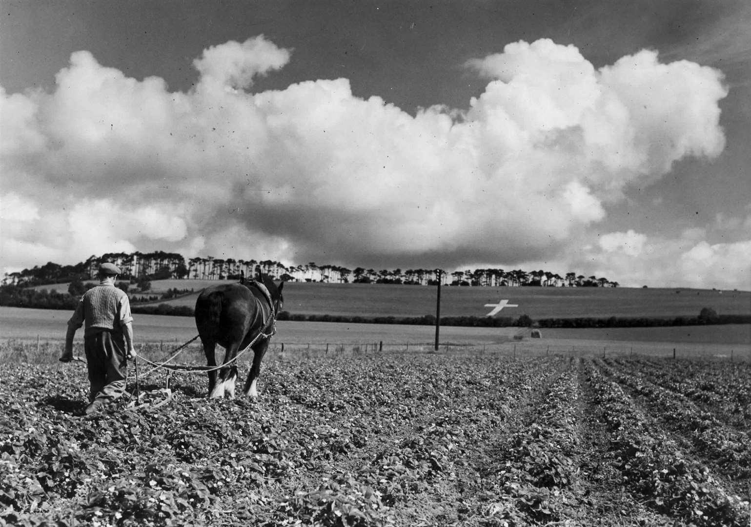 Aflojando el suelo alrededor de las fresas bajo la cruz gigante de Lenham en junio de 1946. Imagen: John Topham