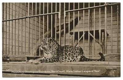 Tom the Leopard at Tovil Court in 1914