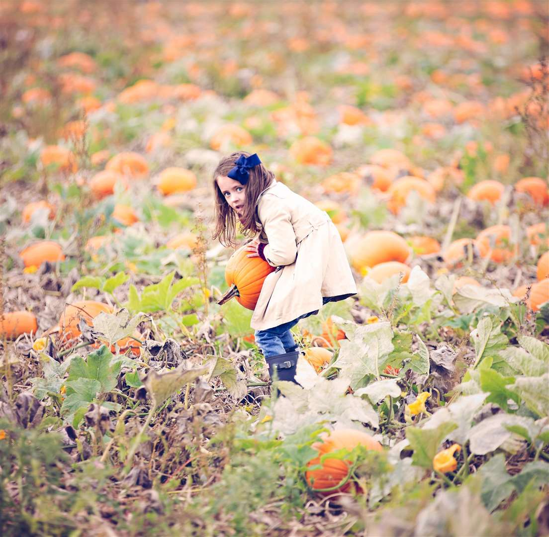Pumpkin picking at PYO Pumpkins in Hoo Picture: Bruce Middlemiss