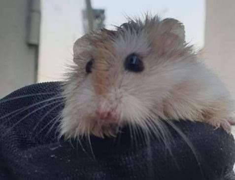 The hamster found in Herne Bay. Picture: Martyn Eldridge
