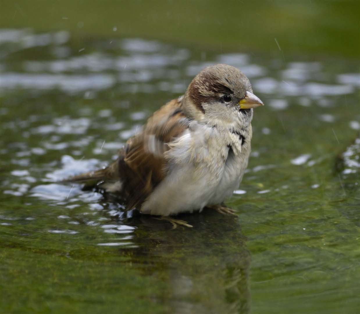 Sparrows are doing well in Kent Picture: Ray Kennedy/RSPB Images