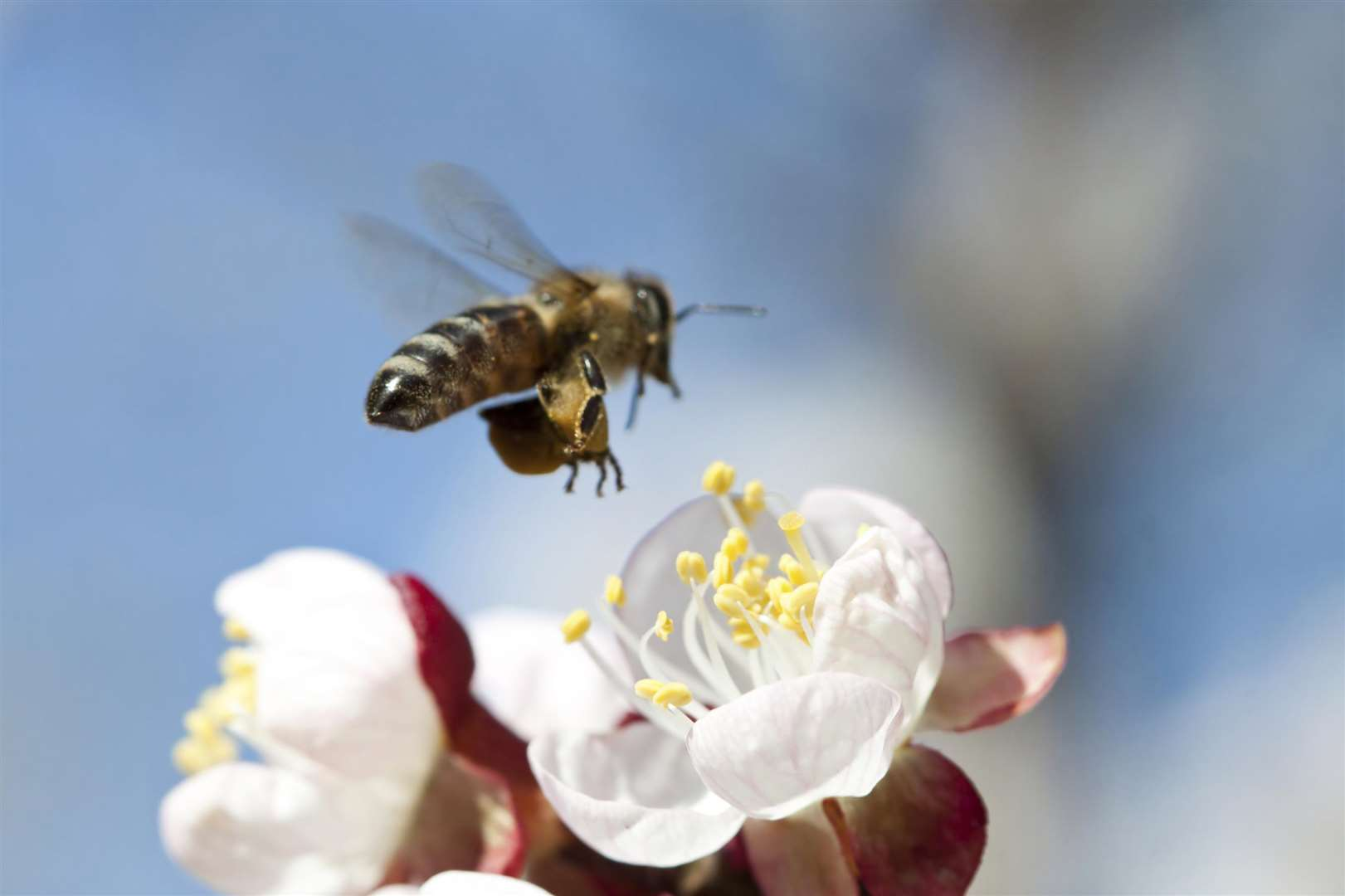 Honey bee will be a key focus of park plans