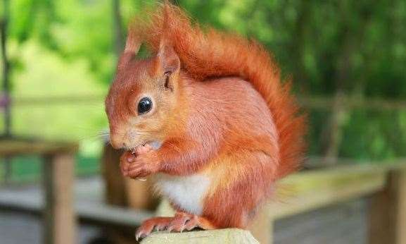 A red squirrel at Wildwood Trust