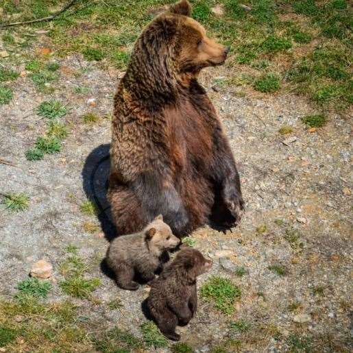 The charity is appealing for the funds to help it rehome a family of bears from Andorra. Picture: Aspinall Foundation