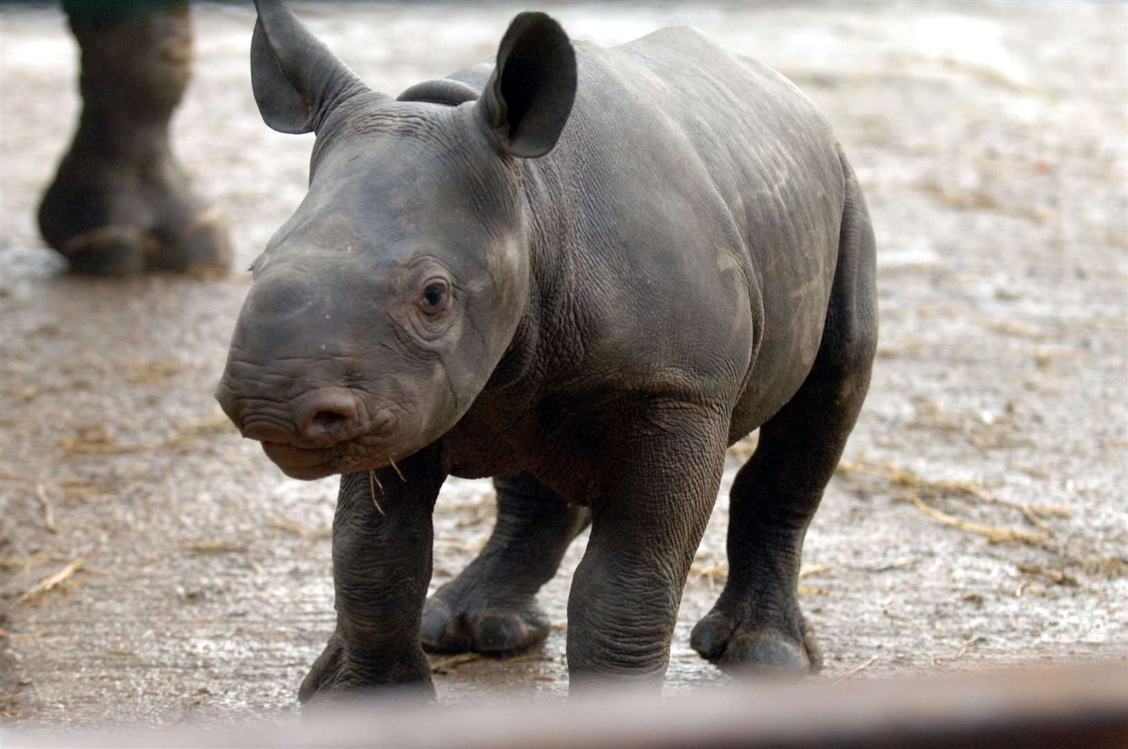 Rhinos are among the dozens of species bred at Port Lympne and Howletts