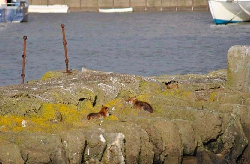 Two foxes were seen sunning themselves in the harbour. Photo: Alan Leigh