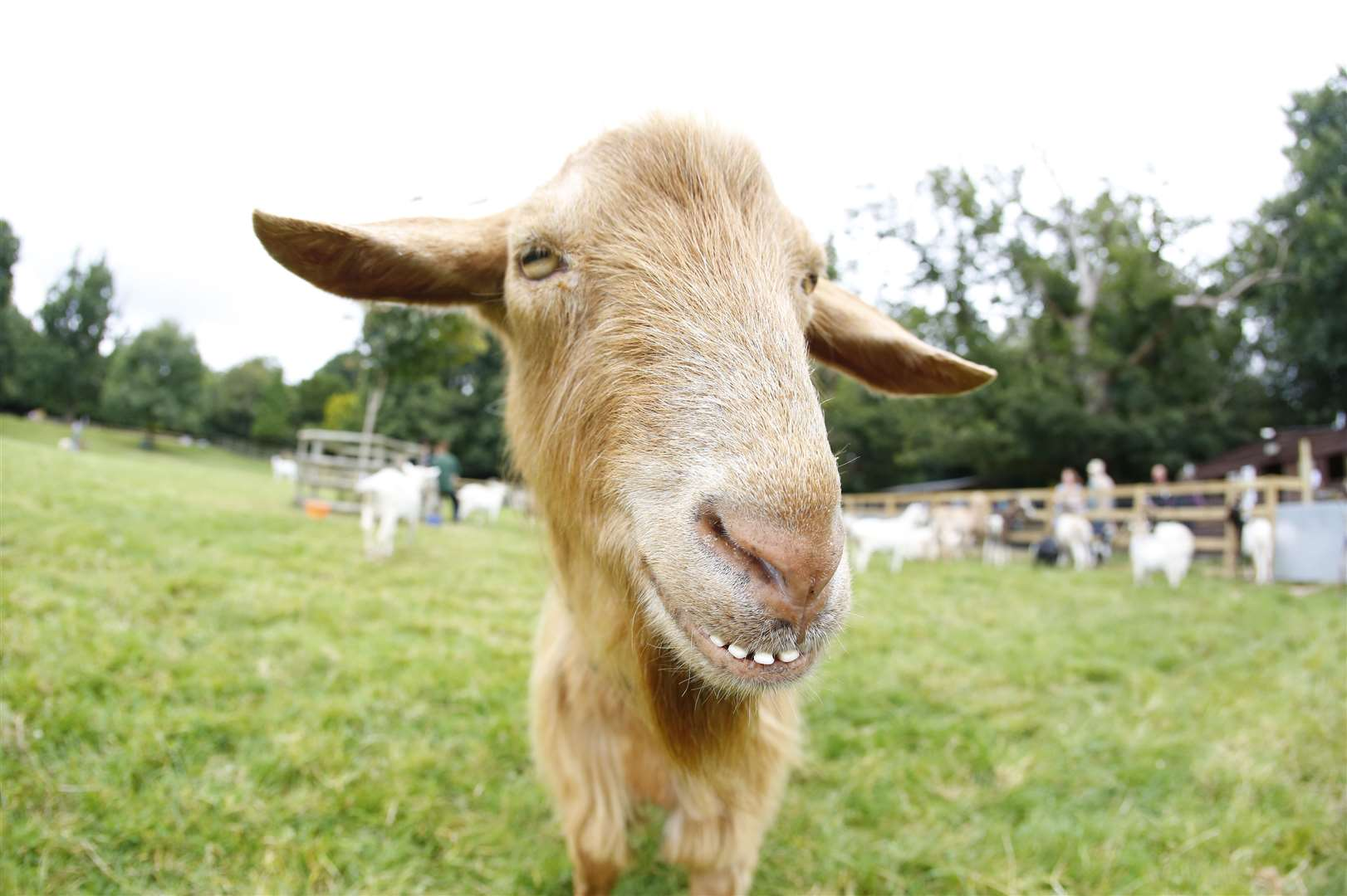 Buttercups Goat Sanctuary will reopen Picture: Andy Jones