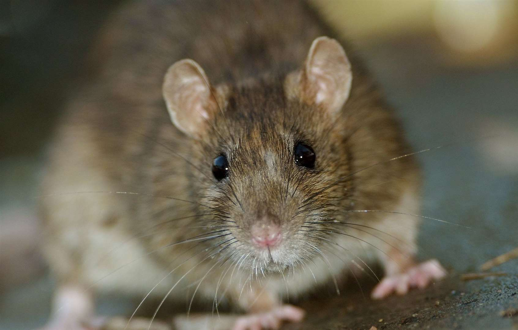 The rat was spotted scurrying across the ward (stock picture)