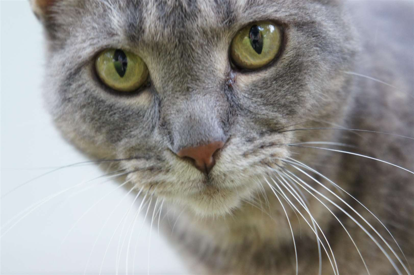 Stock image of grey tabby cat. Credit: Wikimedia SportsandHistoryReader521 (4293560)