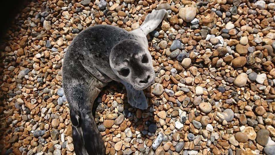The seal pup was found on Deal beach (3110785)