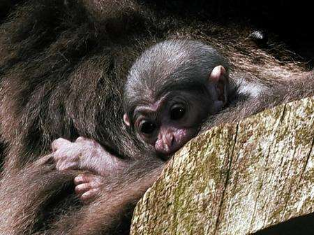 The baby gibbon born at Howletts