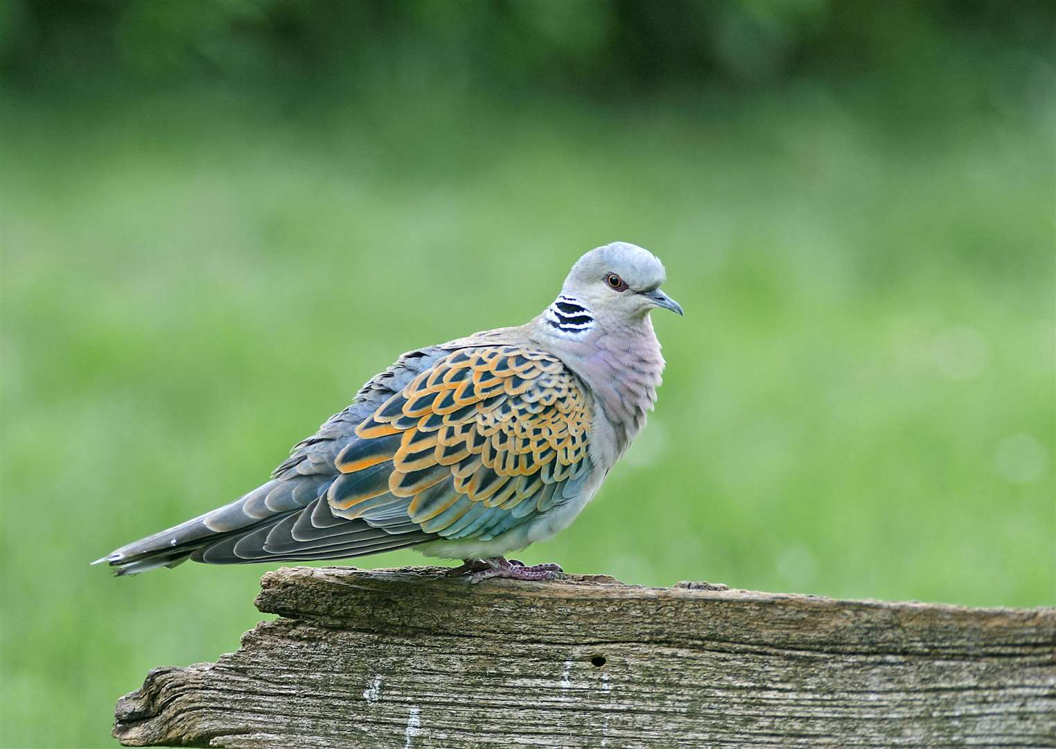 Turtle doves are at home in Marden Photo: John Smith