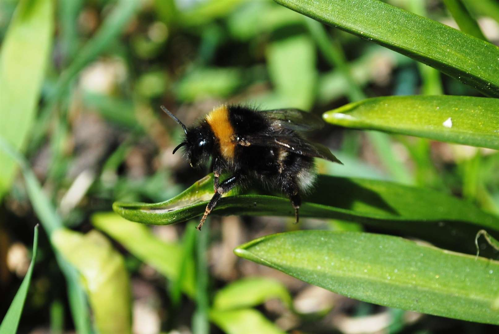 The exact reasons for Kent's unusually high rare bumblebee population are unknown