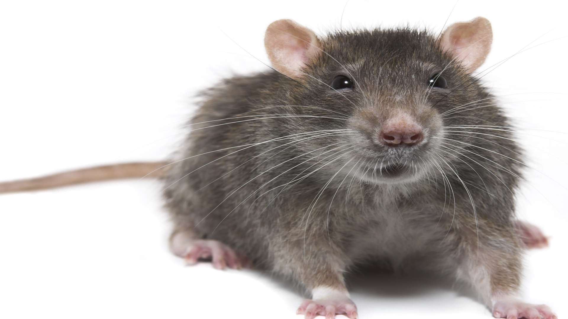 A rat was spotted in the cafe. Picture: Thinkstock