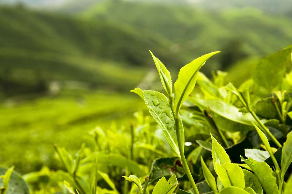 Camellia has tea plantations in India, Kenya and Bangladesh