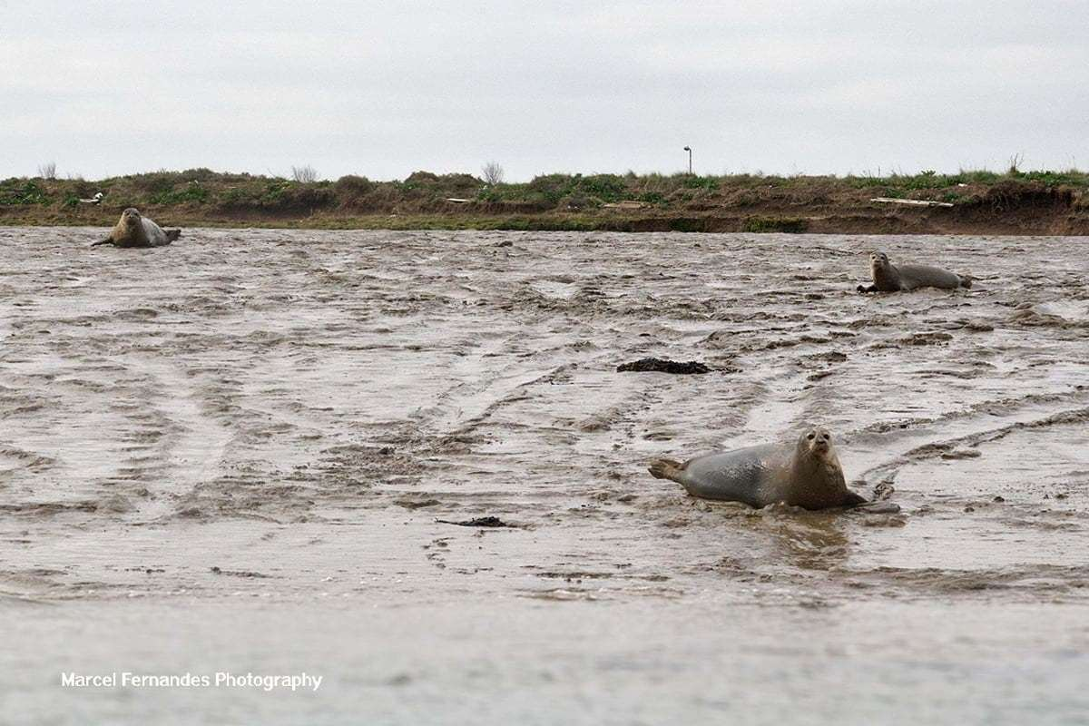 Seals at Damhead Creek, Kingsnorth. Picture: Marcel Fernandes