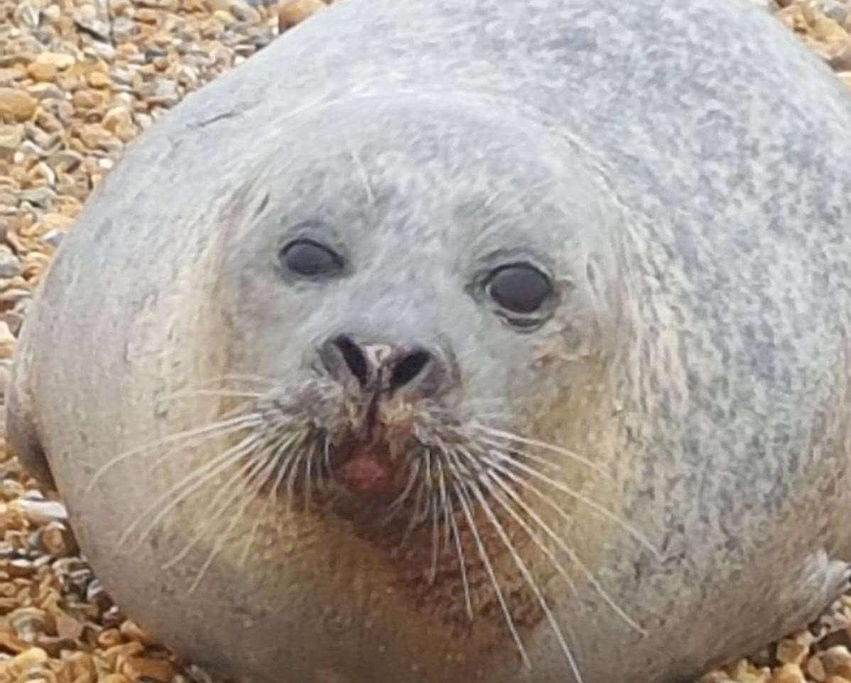 He stayed on the beach for a 'rest'. Picture credit: RSPCA