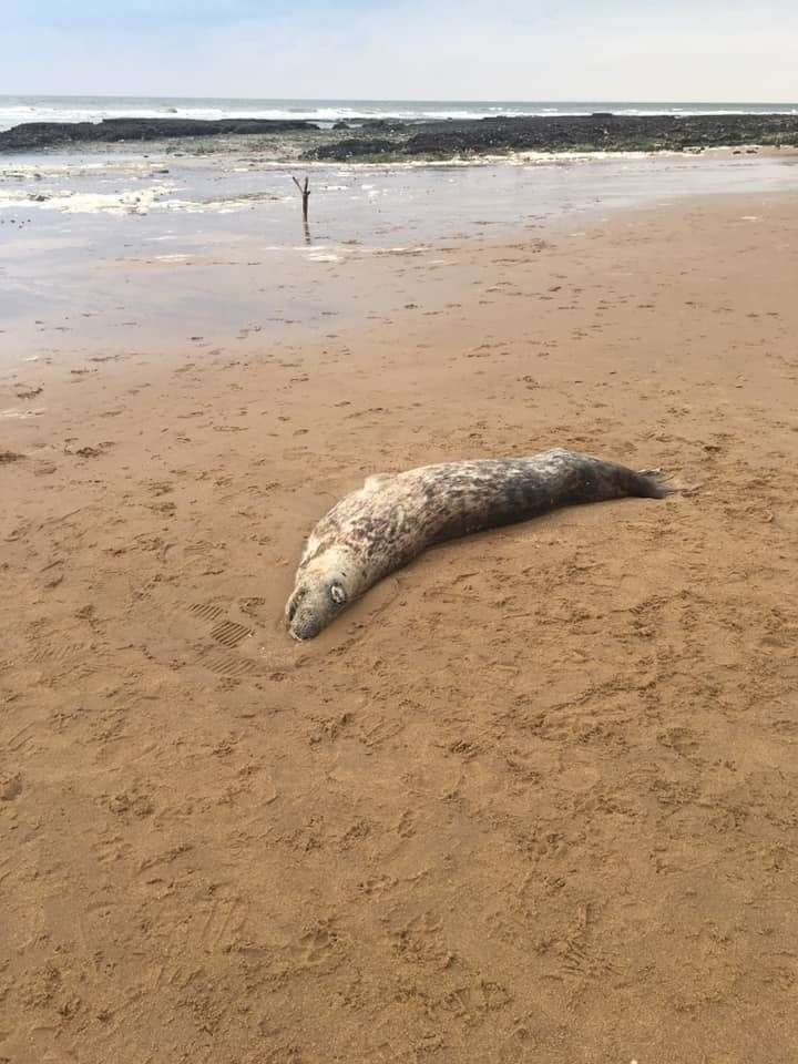 A seal was found dead at Viking Bay in Broadstairs (8489120)