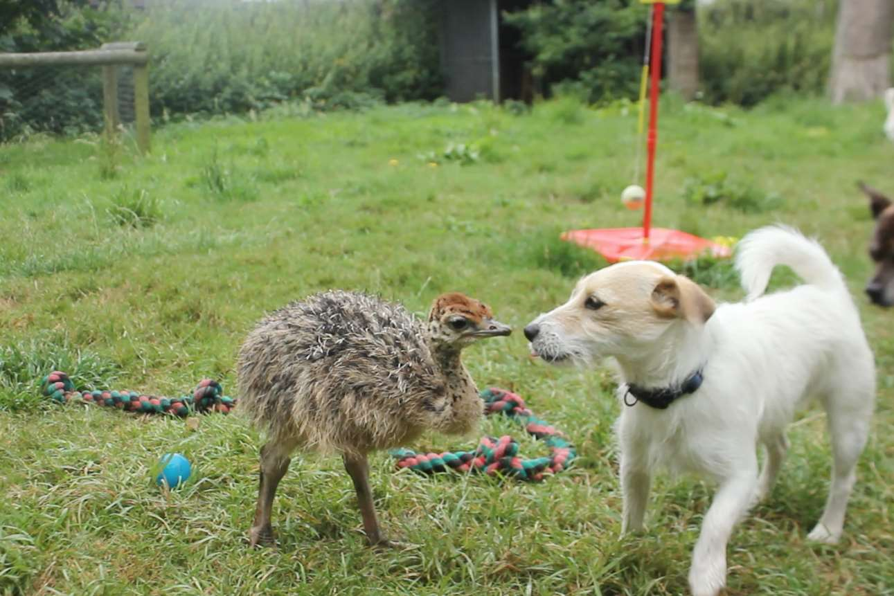 Baby ostrich Cambridge has befriended dogs as he prepares for life at Port Lympne. Picture: Port Lympne Reserve