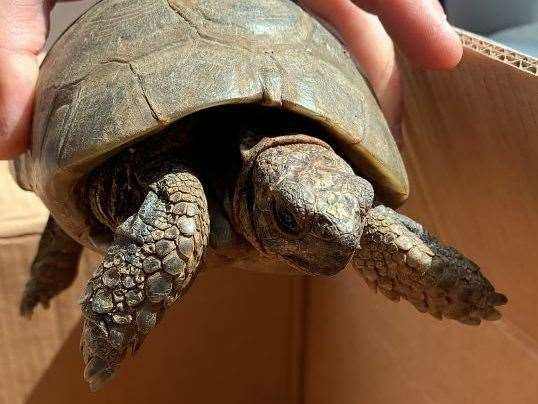 The tortoise is at least 60 years old. Pic: Emma Miles