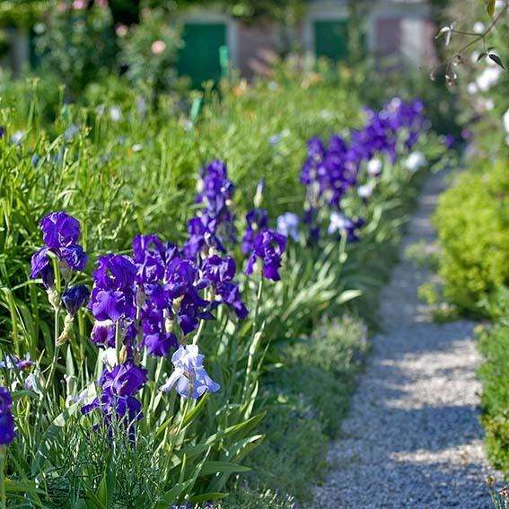 Iris light up the gardens at Giverny