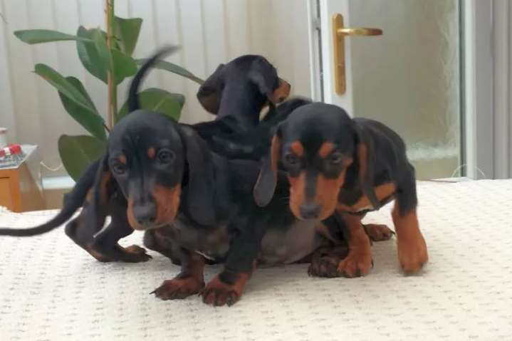 The miniature 'teacup' dachshund puppies, picture Bury Council.