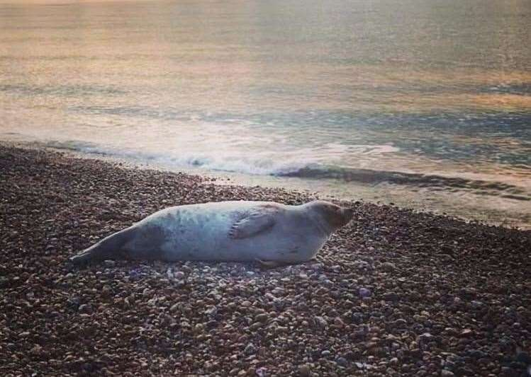 The common seal, an adult, is 4ft long and too big to move tonight. Picture: RSPCA