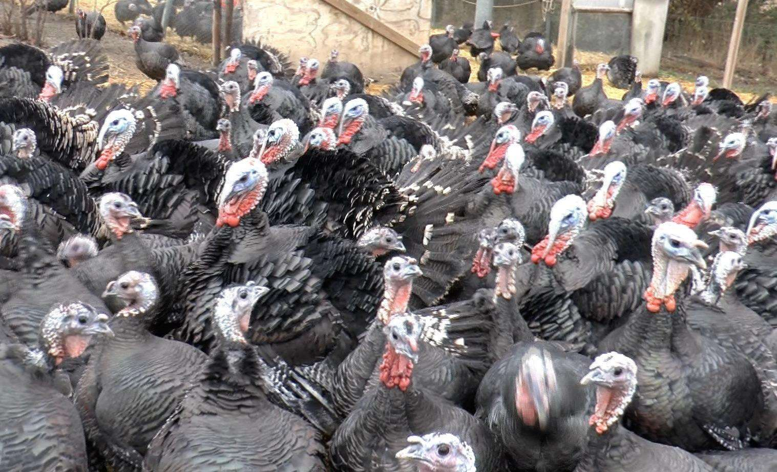 Some of the 1,200 turkeys on the farm (5535088)