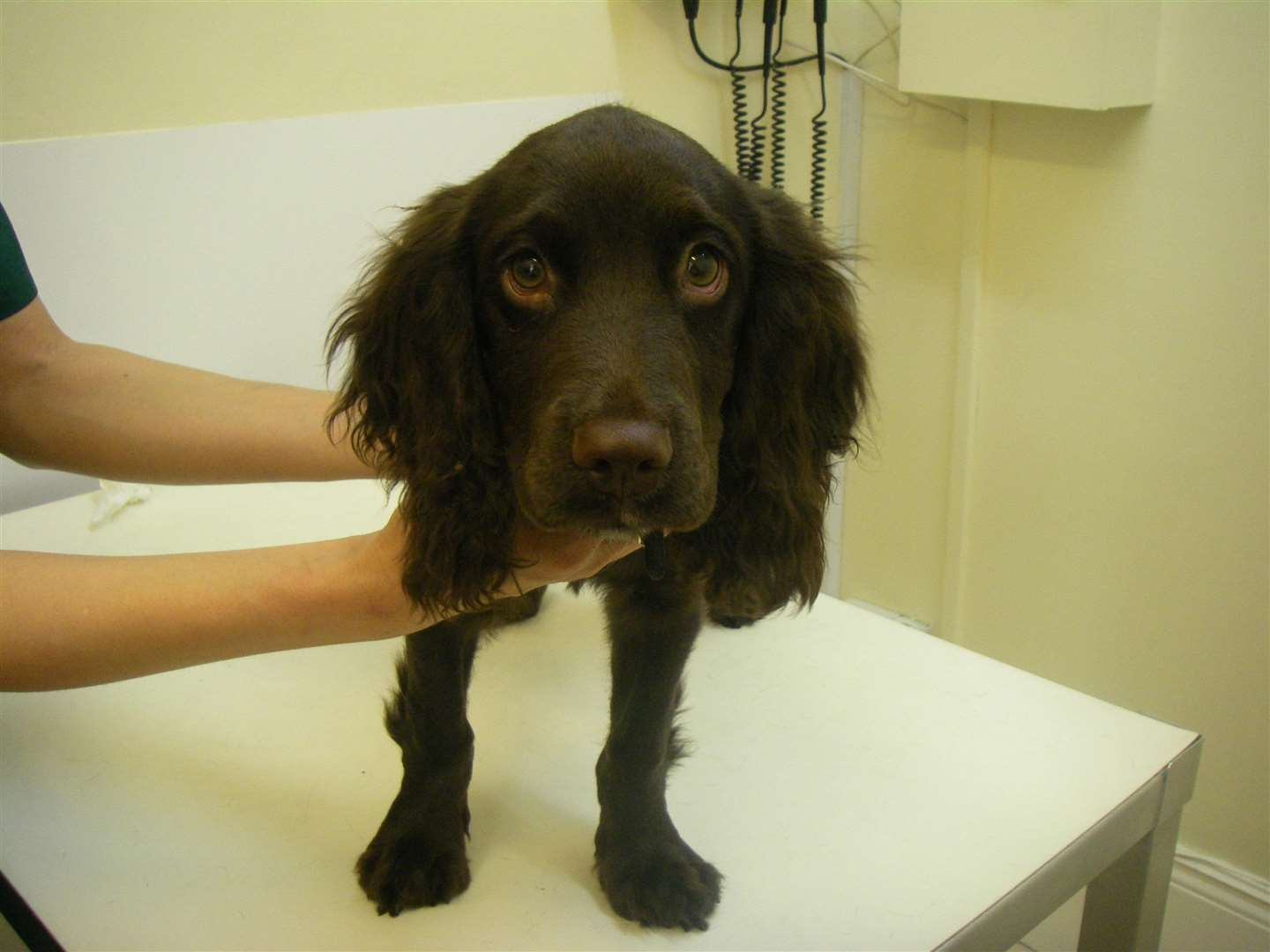 Cocker spaniel Max was rehomed after being rescued by the RSPCA