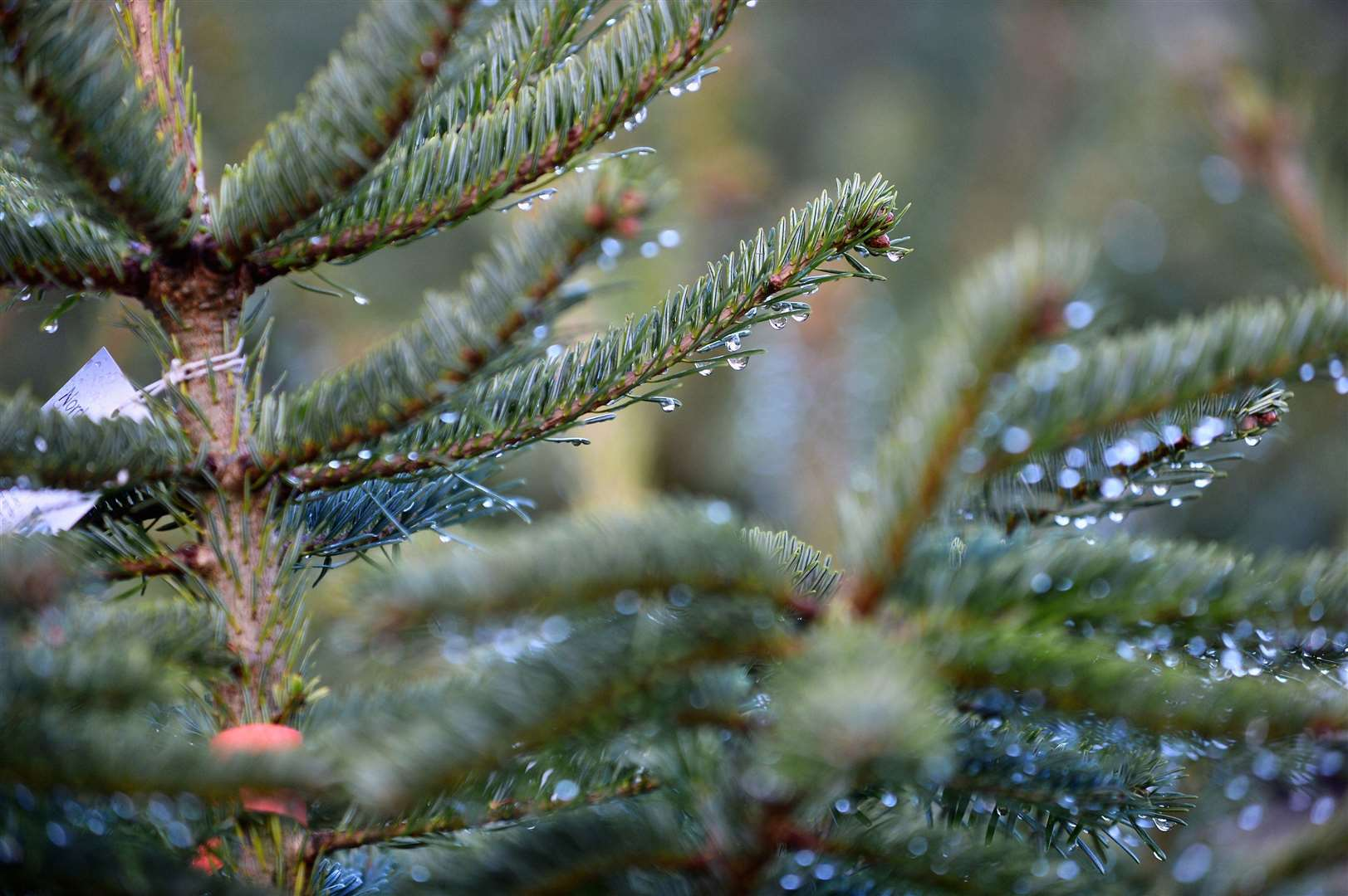 Notcutts in Maidstone and Tunbridge Wells share advice on how to take care of a real Christmas tree