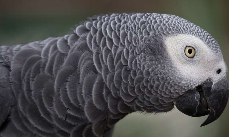 An African Grey. Library image.