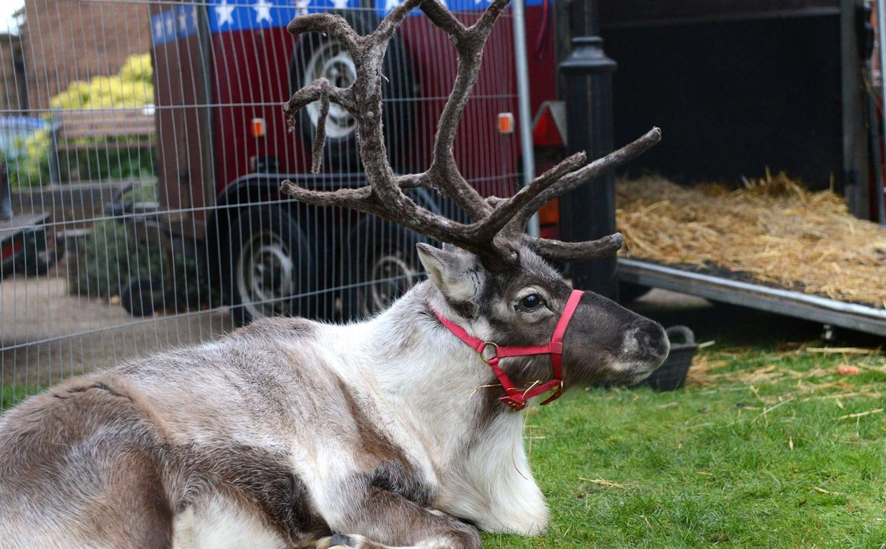 Tour around the county with Santa's reindeer