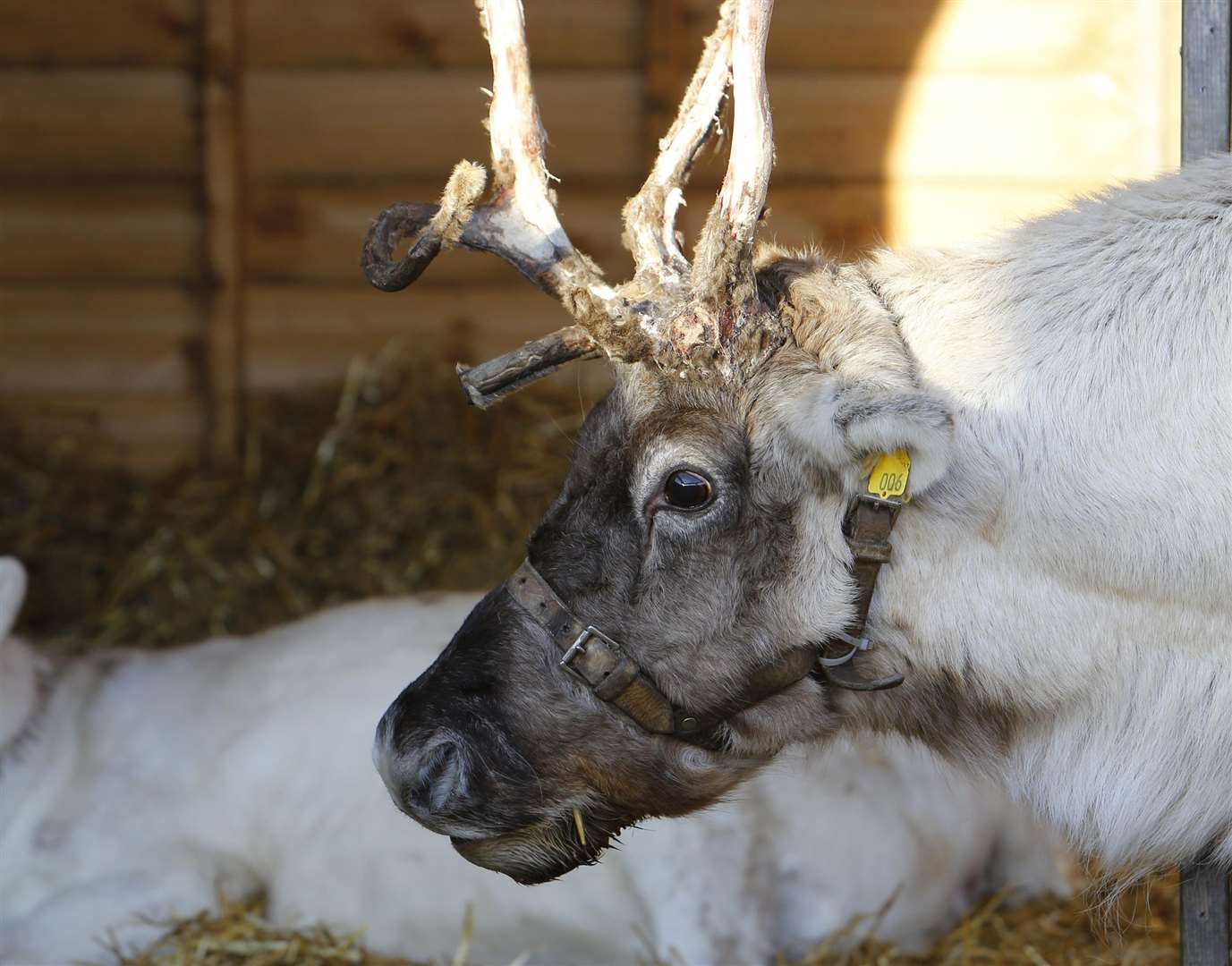 Reindeer have been used at Leeds Castle's Christmas Market in the past