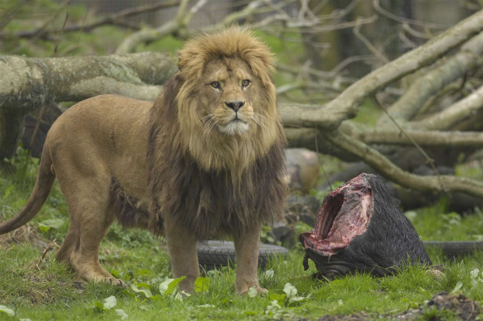 One of the Port Lympne lions. Picture: Gary Browne