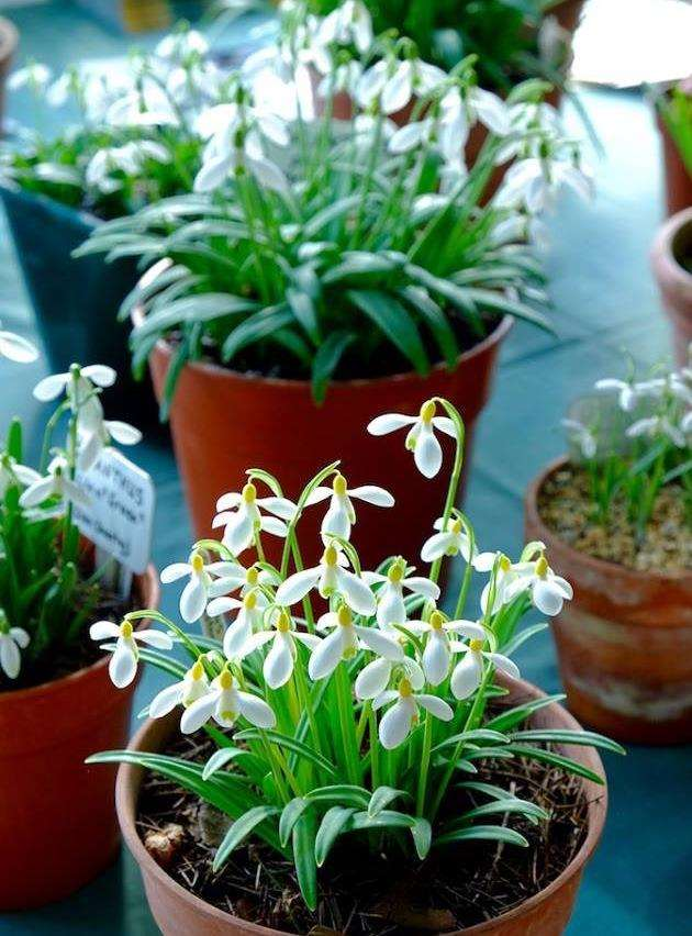 Hole Park Gardens will have snowdrops for sale
