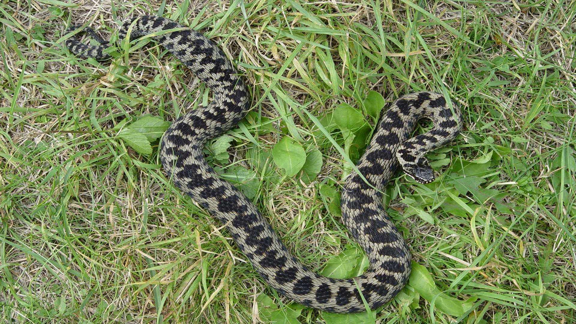 Adders can be found in various parts of the county. Stock picture