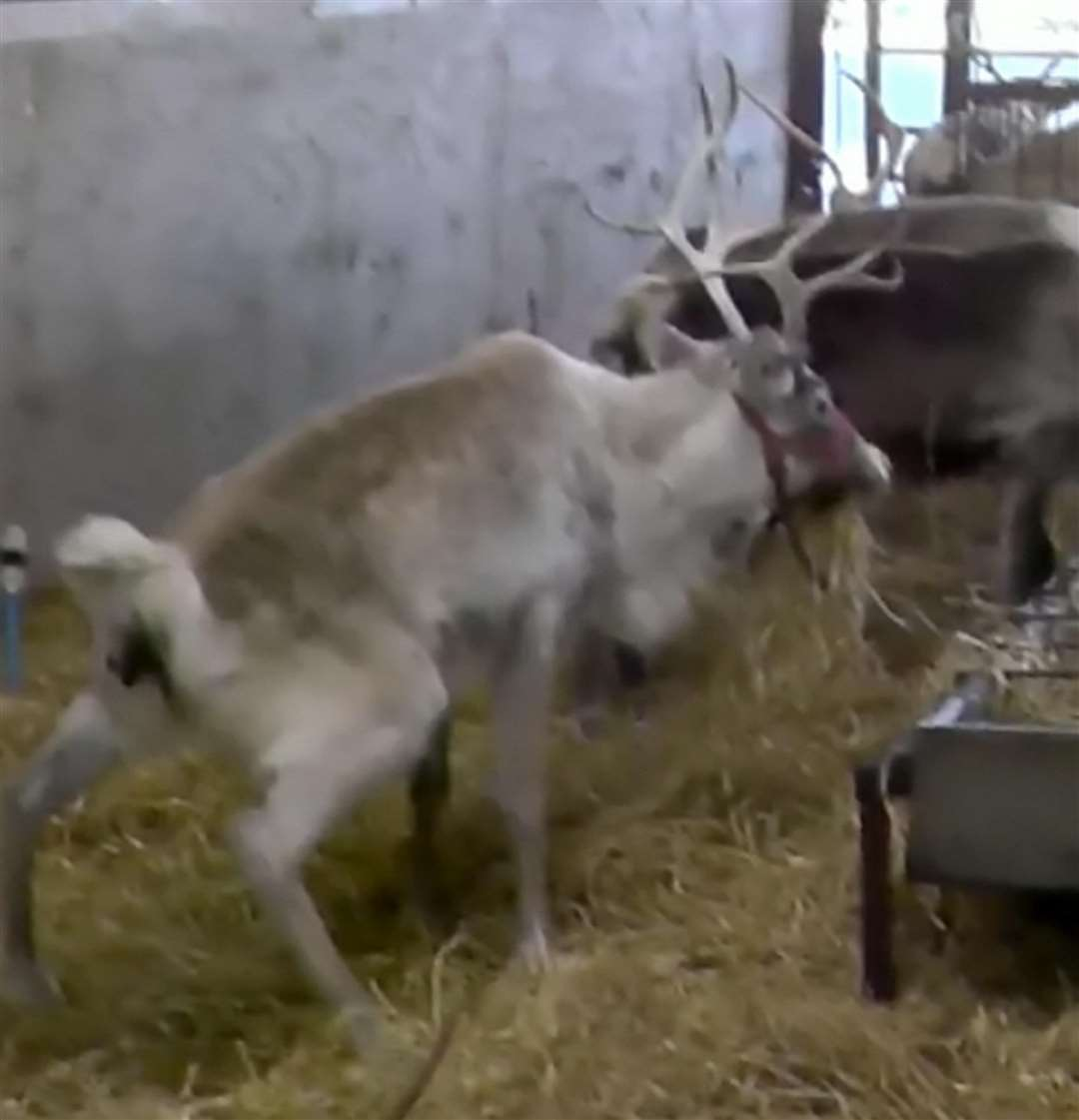 Reindeer at Kent Reindeer Centre, as seen in undercover footage captured by Animal Aid at UK farms. Picture: SWNS