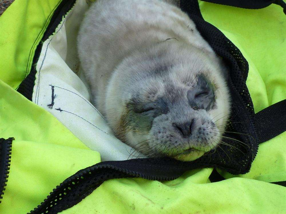 Tiny seal pup found at Sandwich Bay