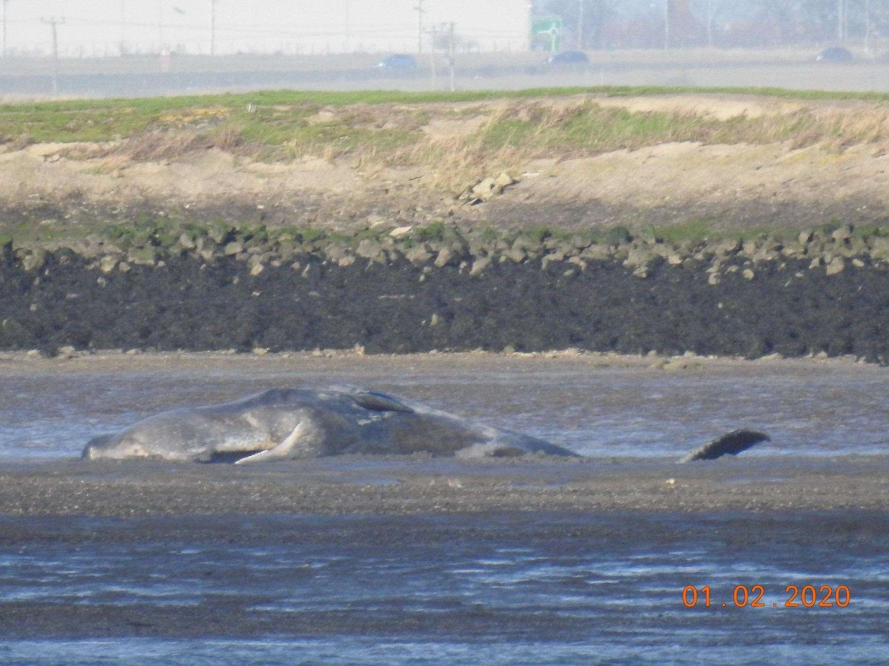 Dead whale on the Sheppey coast at Elmley. Picture: Lorraine St John, Kent Wildlife Rescue Services