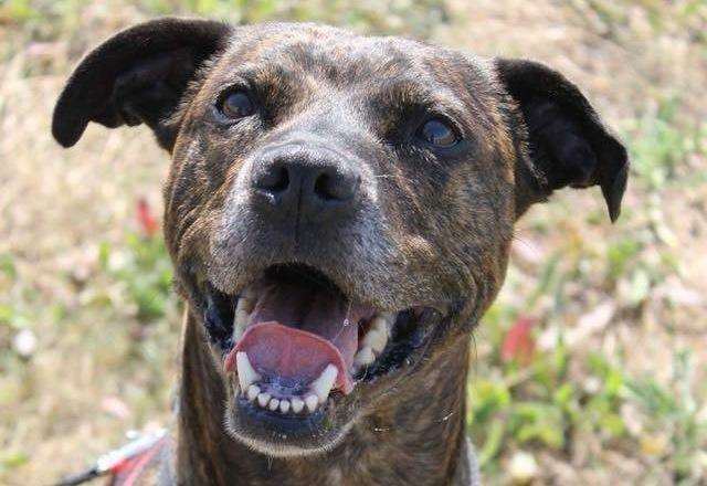 Staffordshire Bull Terrier Link Rescued By Rspca In Thanet