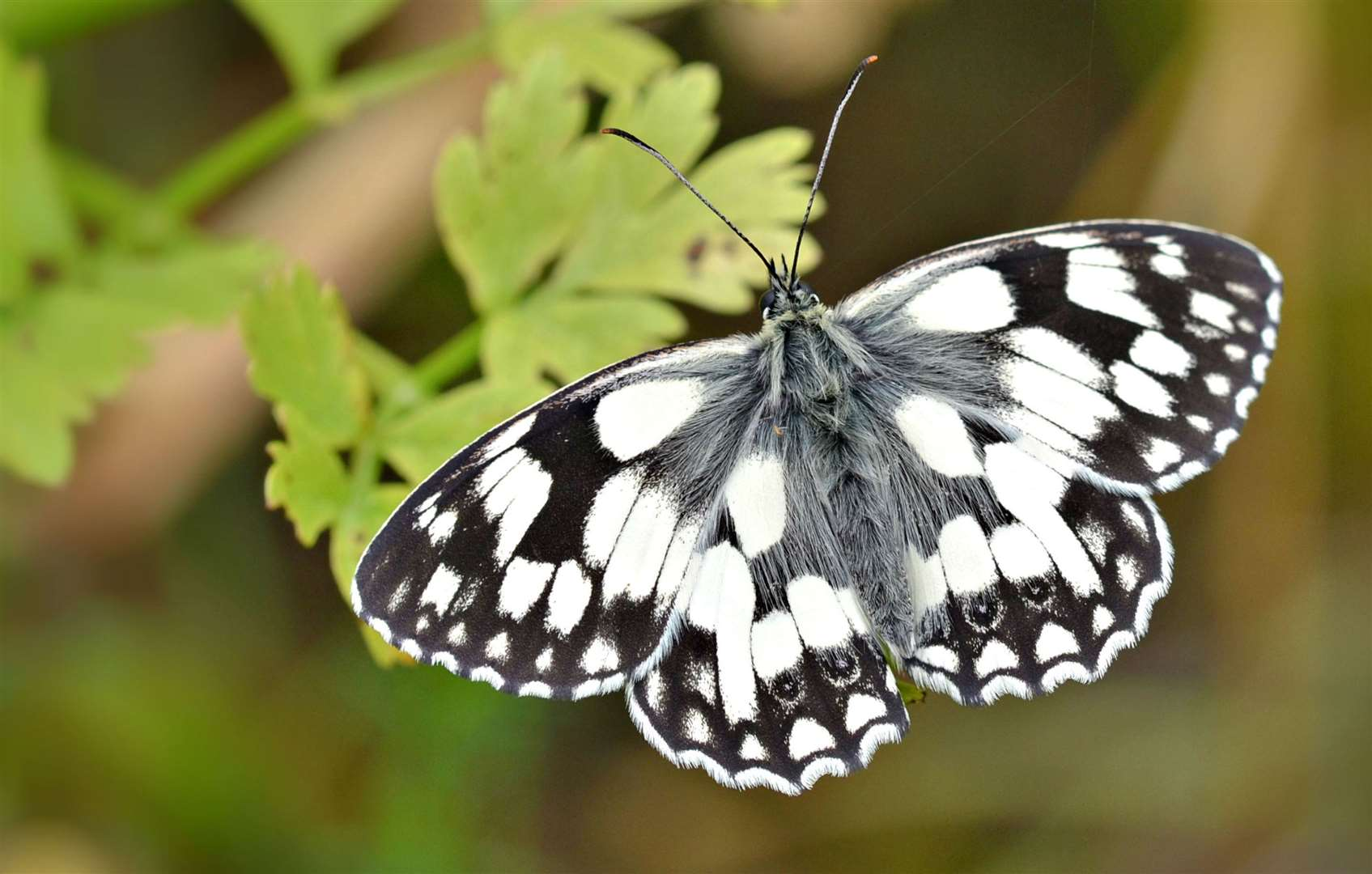 Look out for a marbled white in your garden Picture: Andrew Cooper